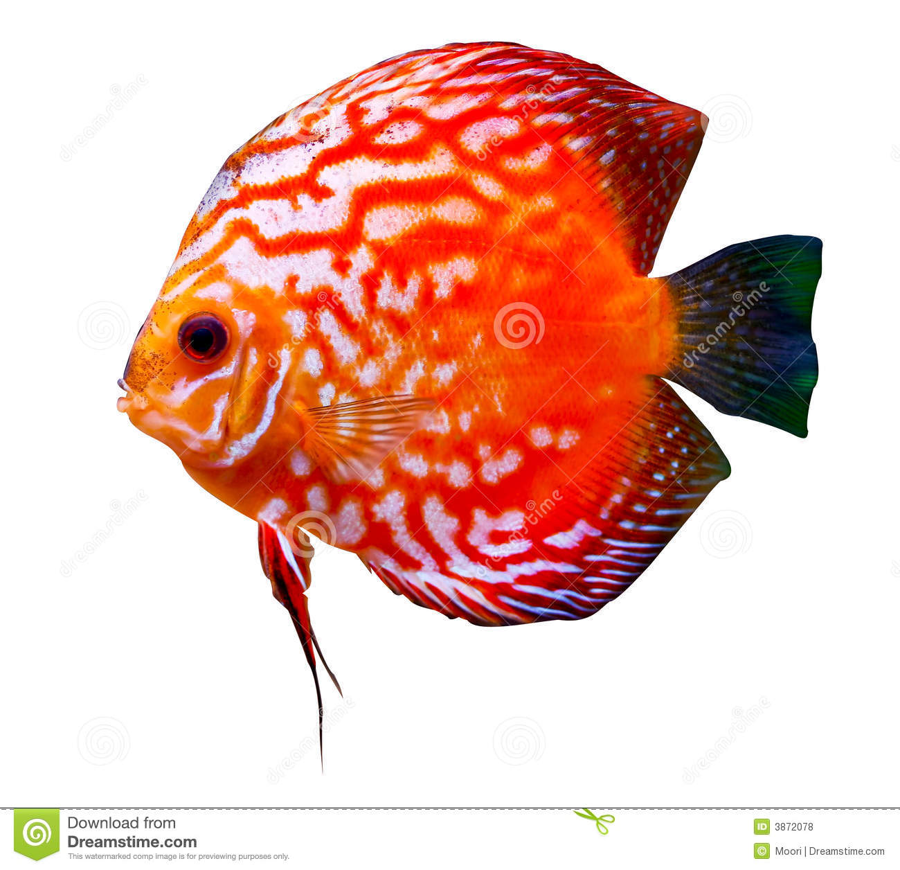 Discus Fish clipart #15, Download drawings