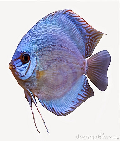 Discus Fish clipart #4, Download drawings