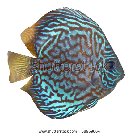 Discus Fish clipart #9, Download drawings