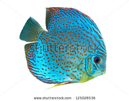 Discus Fish clipart #12, Download drawings