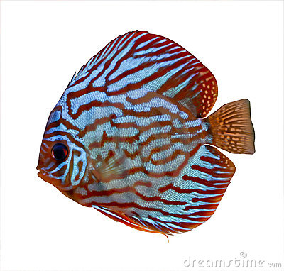 Discus Fish clipart #13, Download drawings