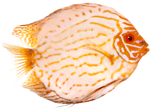 Discus Fish clipart #8, Download drawings