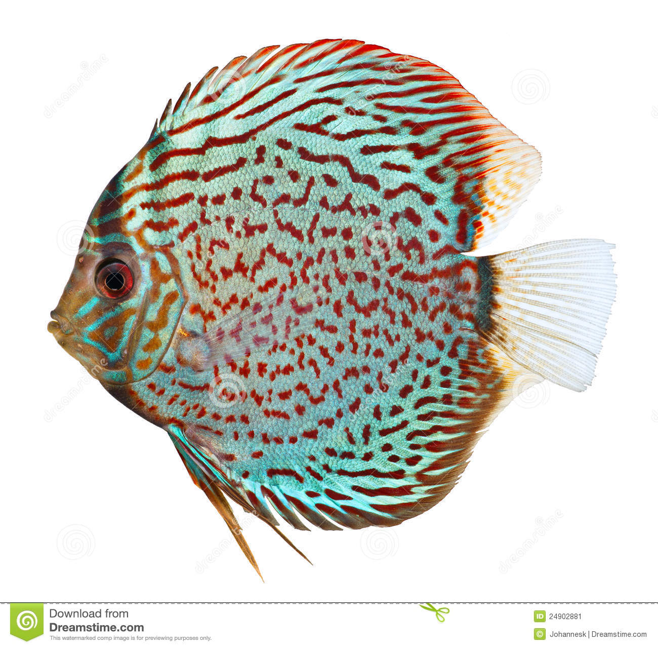Discus Fish clipart #16, Download drawings