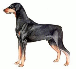 Doberman Pinscher clipart #18, Download drawings