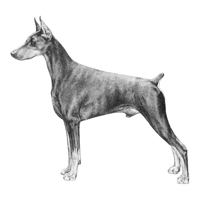 Doberman Pinscher coloring #15, Download drawings