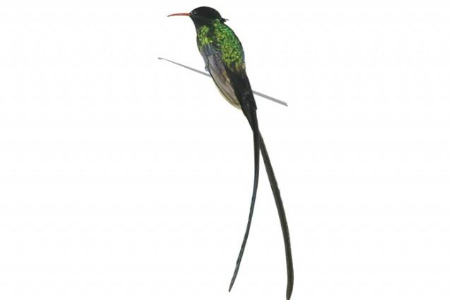 Doctor Bird clipart #1, Download drawings