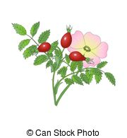 Dogrose clipart #12, Download drawings