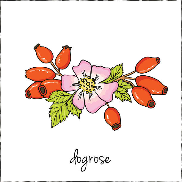 Dogrose clipart #2, Download drawings