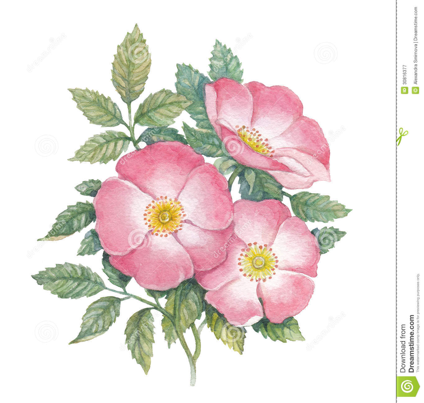 Dogrose clipart #18, Download drawings