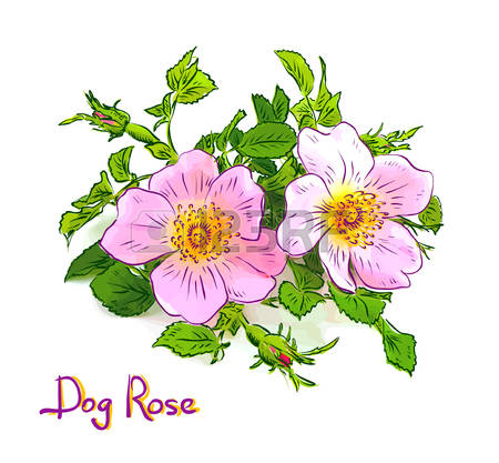 Dogrose clipart #3, Download drawings