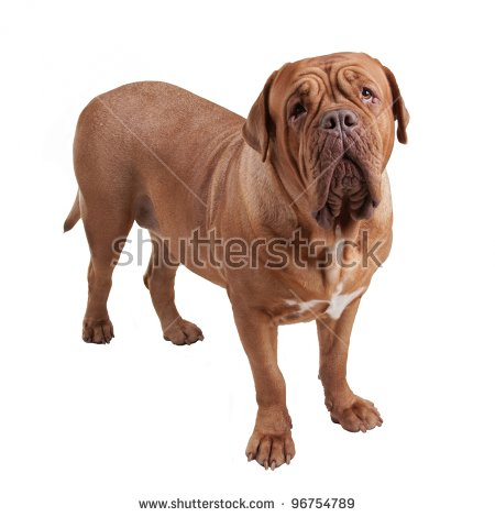 Dogue De Bordeaux clipart #20, Download drawings