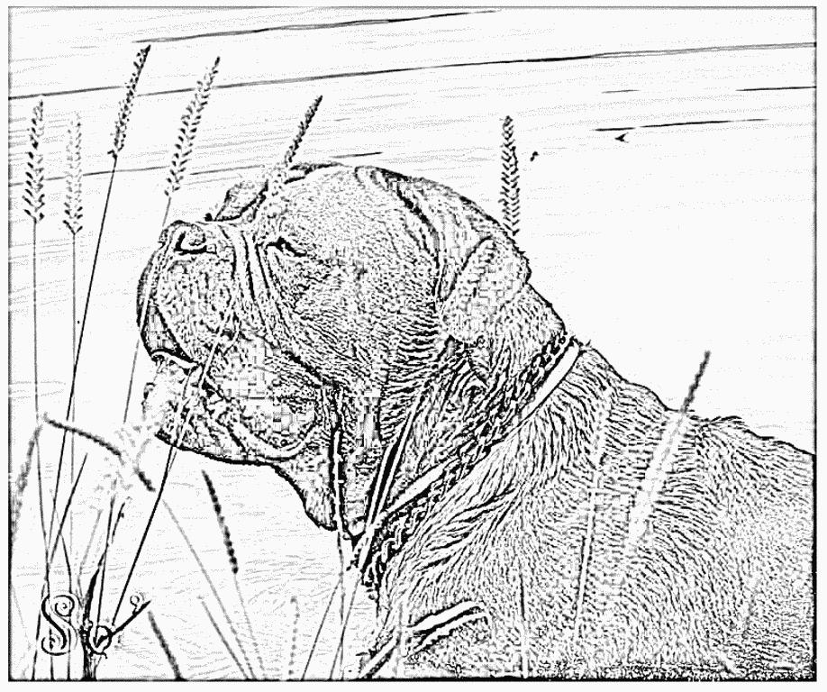 Dogue De Bordeaux coloring #1, Download drawings