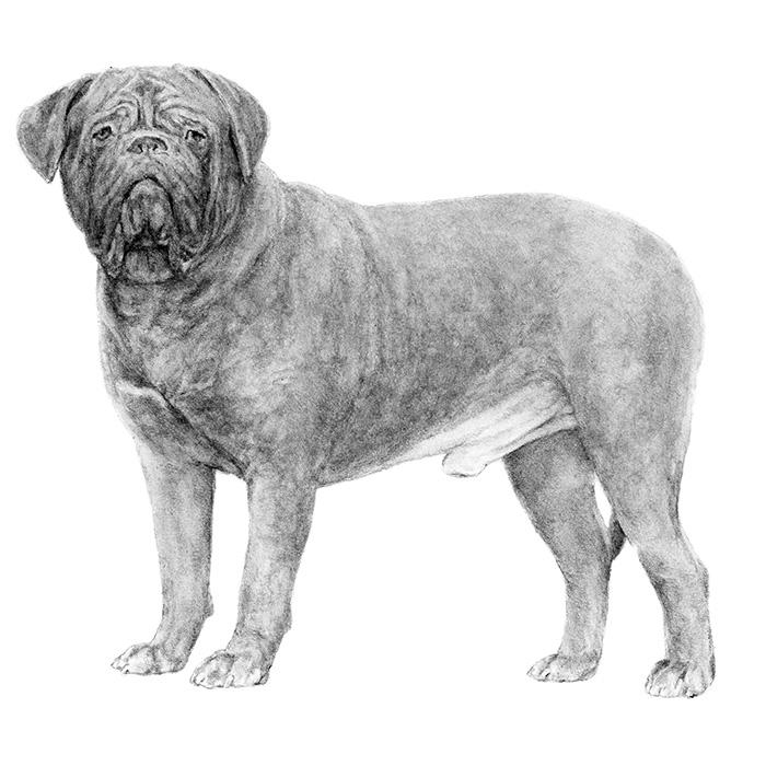 Dogue De Bordeaux coloring #14, Download drawings