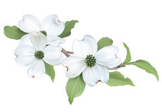 Dogwood clipart #12, Download drawings