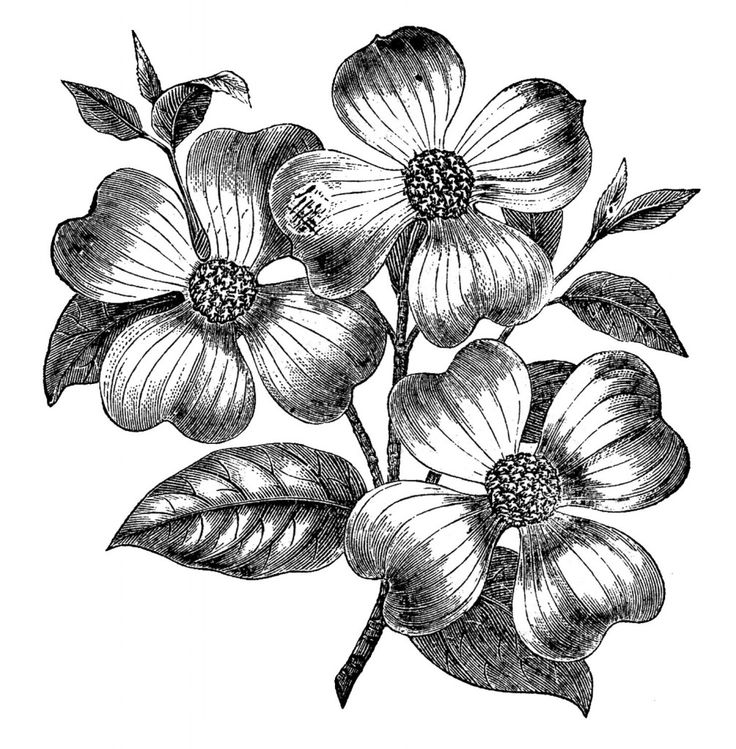 Dogwood clipart #16, Download drawings