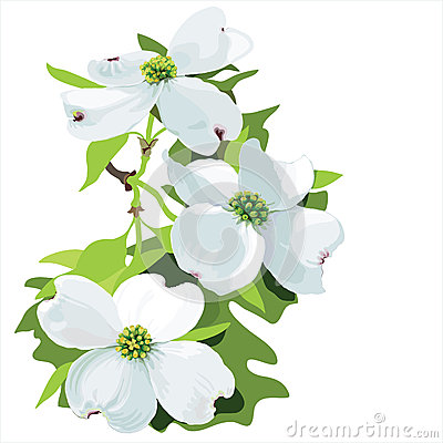 Dogwood clipart #9, Download drawings