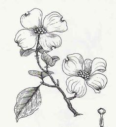 Dogwood clipart #8, Download drawings
