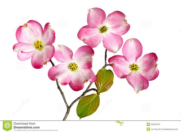 Dogwood clipart #7, Download drawings