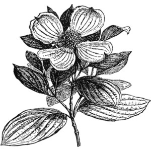 Dogwood clipart #15, Download drawings