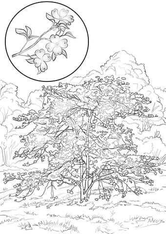 Dogwood coloring #1, Download drawings