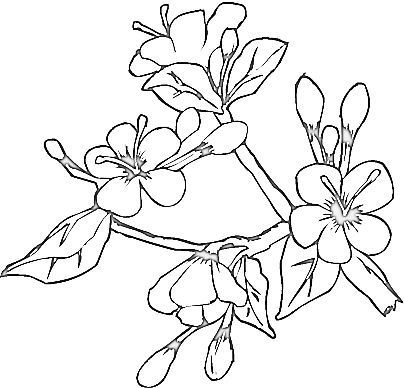 Dogwood coloring #5, Download drawings