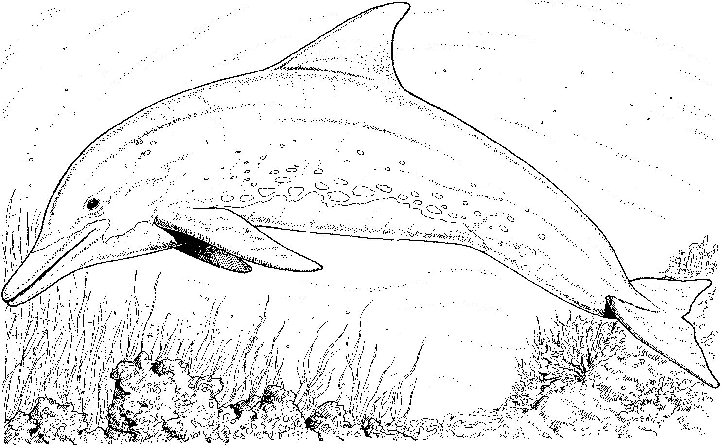 Dolphins coloring #1, Download drawings