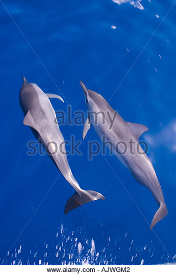 Dolphins Riding Bow coloring #20, Download drawings