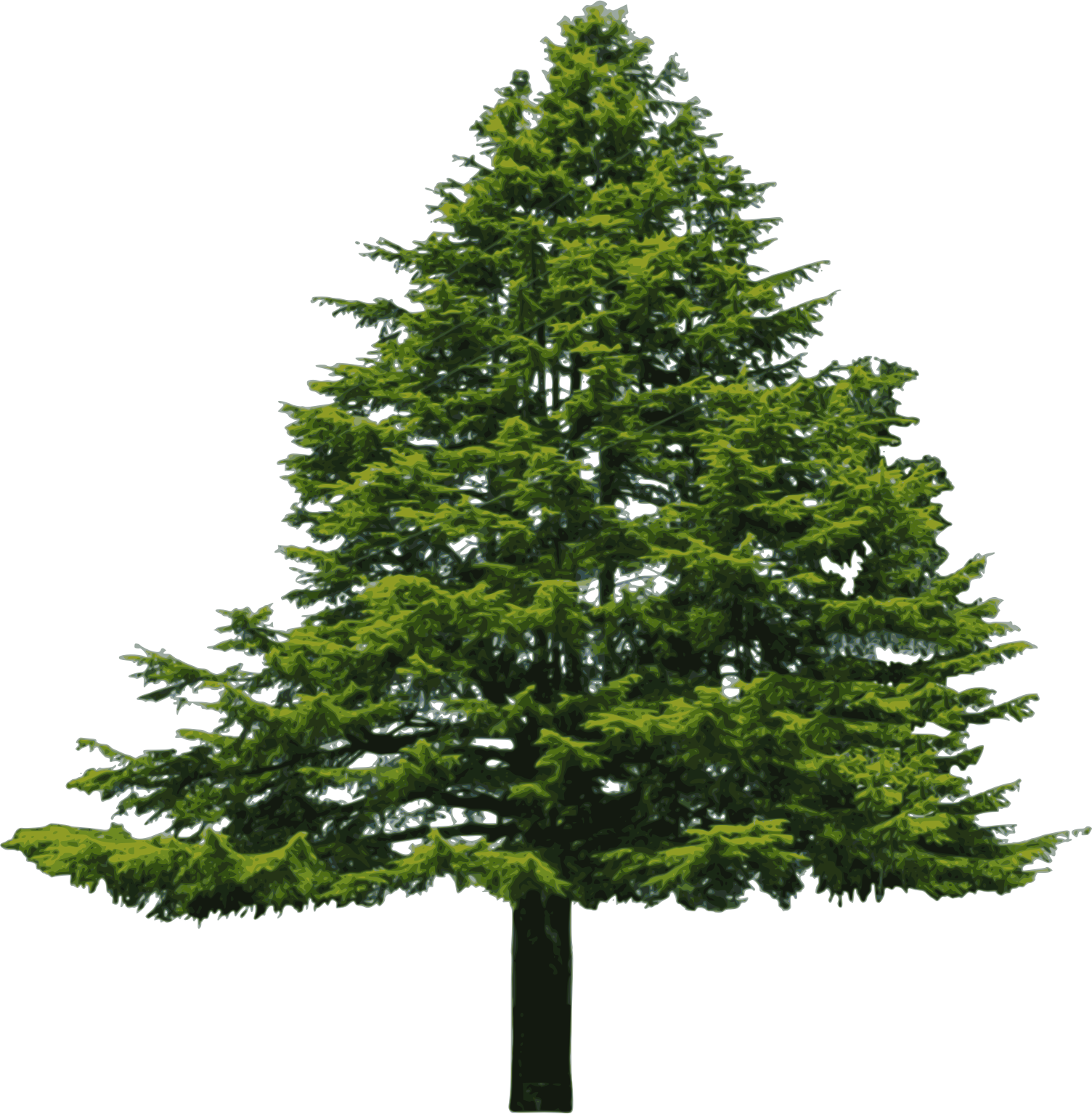 Douglas Fir Trees clipart #5, Download drawings