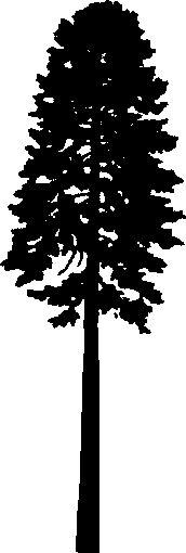 Douglas Fir Trees svg #13, Download drawings