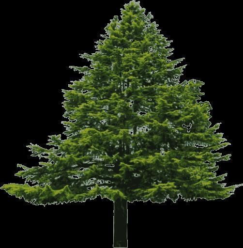 Douglas Fir Trees svg #12, Download drawings