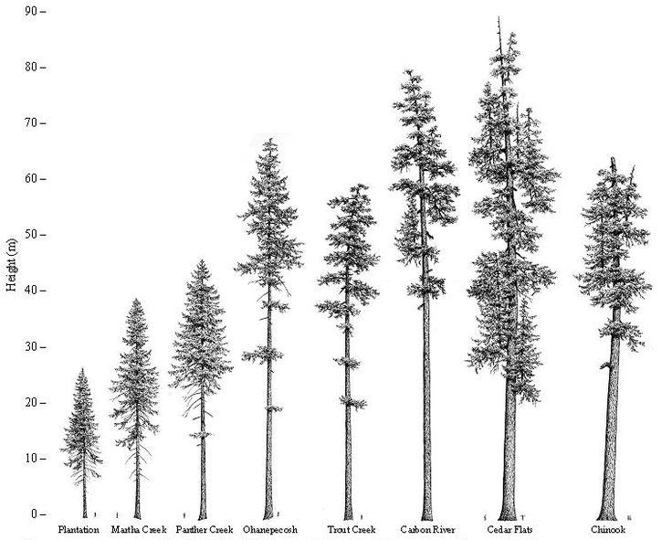 Douglas Fir Trees svg #4, Download drawings