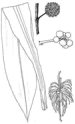 Dracaena coloring #18, Download drawings