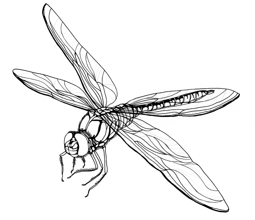 Dragonfly coloring #5, Download drawings