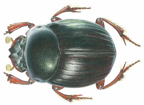 Dung Beetle clipart #2, Download drawings