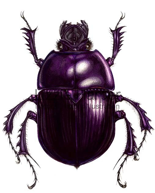 Dung Beetle clipart #1, Download drawings