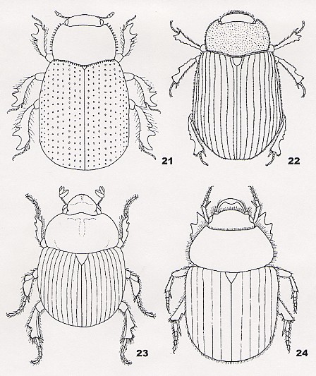 Dung Beetle coloring #7, Download drawings