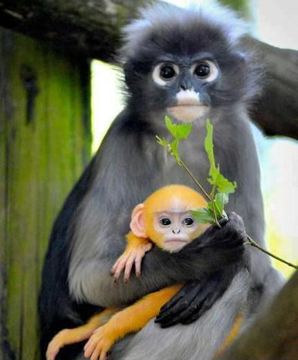 Dusky Leaf Monkey coloring #2, Download drawings