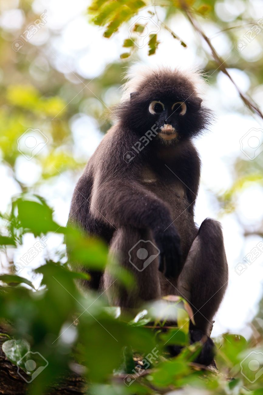 Dusky Leaf Monkey coloring #4, Download drawings