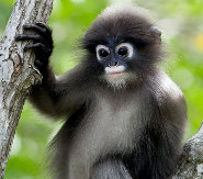 Dusky Leaf Monkey coloring #14, Download drawings