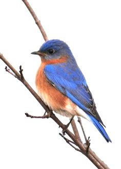 Eastern Bluebird clipart #7, Download drawings