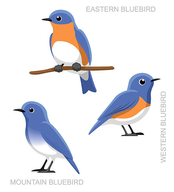Eastern Bluebird clipart #12, Download drawings