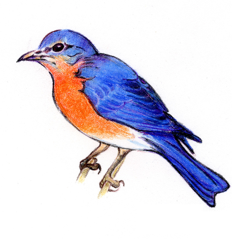 Eastern Bluebird clipart #5, Download drawings