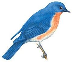 Eastern Bluebird clipart #17, Download drawings