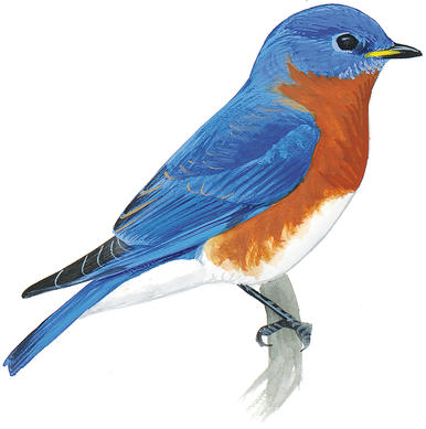 Eastern Bluebird clipart #13, Download drawings