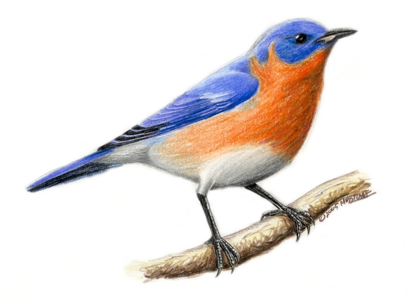 Eastern Bluebird clipart #14, Download drawings