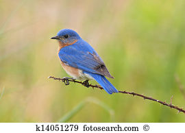 Eastern Bluebird clipart #1, Download drawings