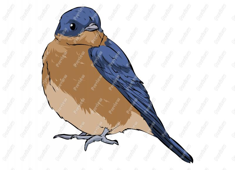 Eastern Bluebird clipart #15, Download drawings