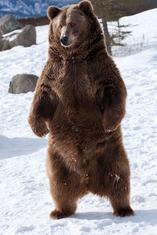 Eastern Brown Bear clipart #11, Download drawings