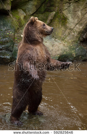 Eastern Brown Bear clipart #4, Download drawings