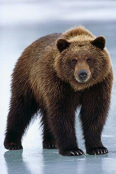 Eastern Brown Bear clipart #16, Download drawings